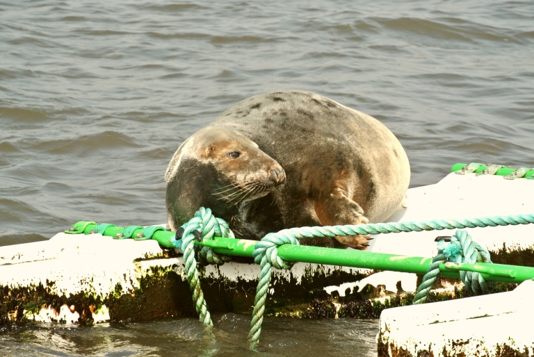 A seal sunning on a buoy.