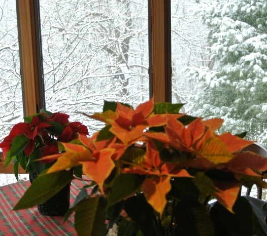 Poinsettias in front of a snowy window.