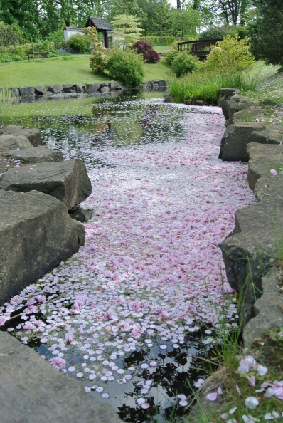 Cherry blossom petals floating in a pond.